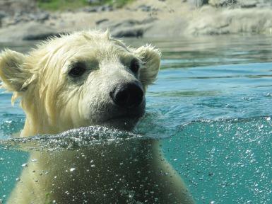 polar-bear-591646_1920